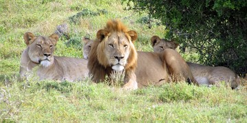 Woodbury Tented Camp Lion Family