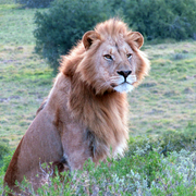Woodbury Tented Camp Wildlife Lion